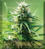 Barneys Farm Sweet Tooth Feminized 5 Seeds
